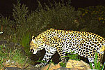 Cape Leopard – A regular visitor!