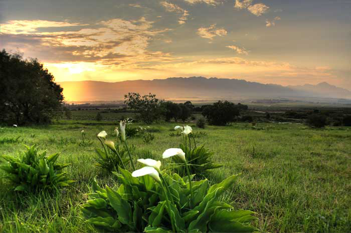"Lilies mountain view – ""Tulbagh mountains"""